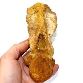 Carcharodontosaure - Vertèbre axis - Carcharodontosaurus saharicus - 17×7×5 cm