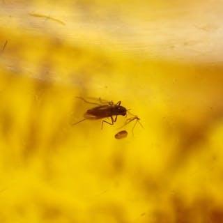 Baltischer Bernstein mit Insekten oder Einschlüssen - Insekt