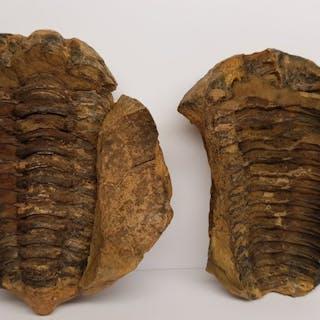 Trilobite - Positive and negative - Phacops sp. - 8×5×9 cm