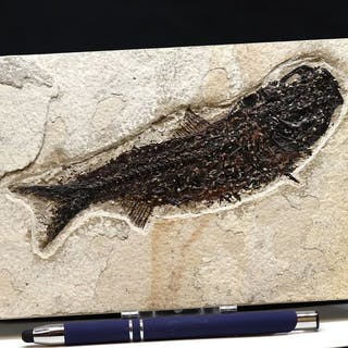 Outstanding fossil fish with open mouth - Microscope...