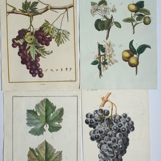 4 botanical pomology prints - Unknown artist (18th...
