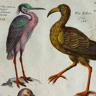 Emma Willughby(17th century)- The Common Heron...