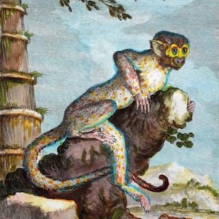 Georges Buffon (1707-1788) - Le Saimiri animal ape print