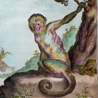 3 animal prints - Georges Buffon (1707-1788) - Le Sajou Gris