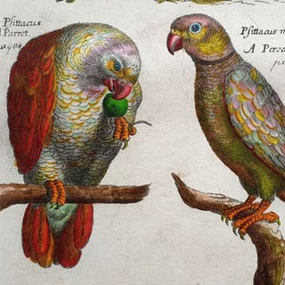 Emma Willughby (17th century)- A common Parrot (handcoloured)