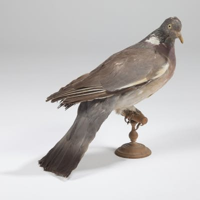 Pigeon ramier ou Palombe (Columba palumbus) (CH) : spécimen présenté