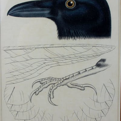 USPRR Plate XXI Crow/Blackbird with wings and foot, 38th, 39th, 41st