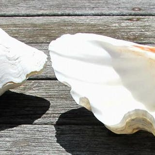 Large Pair and single Clam Shell. Tridacna Gigas. Natural state FR3SHC1