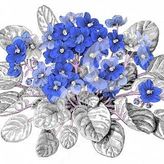 Saintpaulia. Jane's vackra illustrationer prydde Sockerbolagets bruna