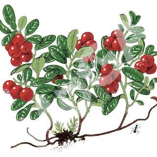 Lingonkvist. Jane's vackra illustrationer prydde Sockerbolagets bruna