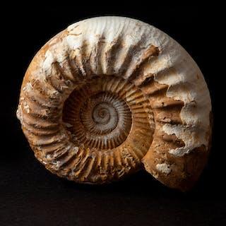 Freestanding Perisphinctes Ammonite