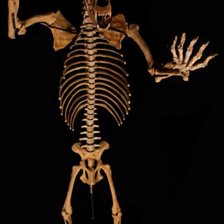 Huge Cave Bear Skeleton from Romania