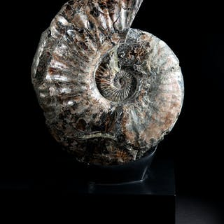 Iridescent Ammonite