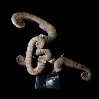 Rare Mass Mortality Ammonite