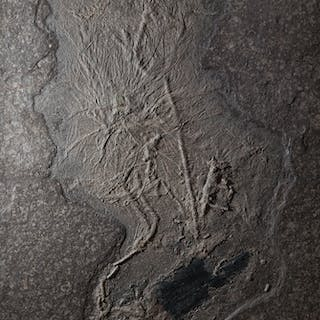 Fossil Crinoid bed