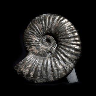 Freestanding Russian Ammonite