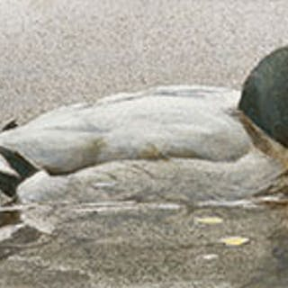 Mallard Duck - Robert Bateman