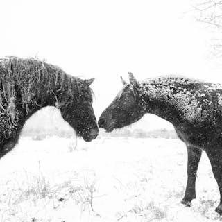 SNOW HORSES - Andrew Lever