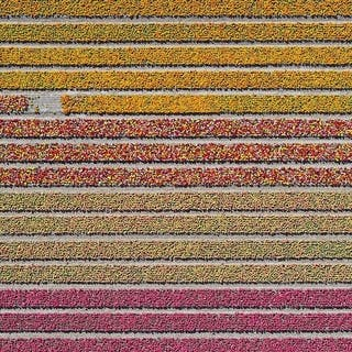 Aerial Views, Tulip Fields 16 - Bernhard Lang