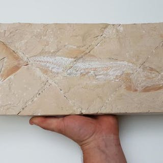 Fossil Ray-finned Fish - on original matrix - Enchodus marchesettii - 48×18×4 cm