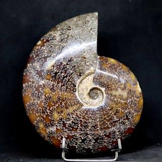 Ammonite à couper le souffle - Conservation optimale...