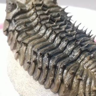 Trilobite - on matrix - Drotops armatus