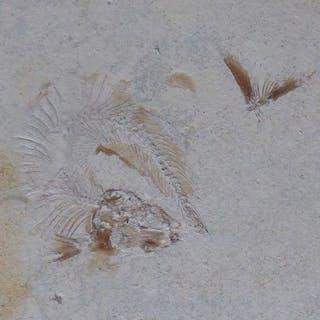 Juveniler Fisch aus dem Jura - on original matrix...