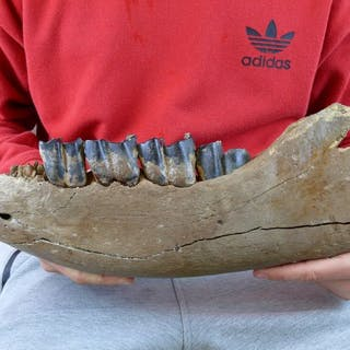 Zähne -Coelodonta antiquitatis, Kieferast eines Wollhaarnashorns