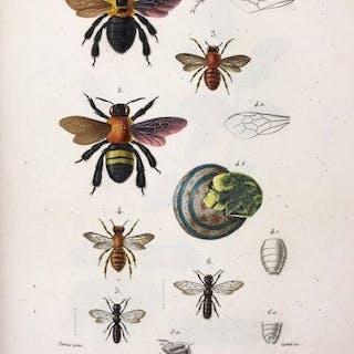 Comte Amédée Louis Lepeletier de Saint-Fargeau - Histoire Naturelle Des Insectes