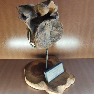 Mammouth laineux - Vertèbre - Mammuthus primigenius