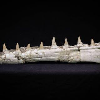 Mosasaurio - Mandíbula - Museum Grade 16.14 Inch...