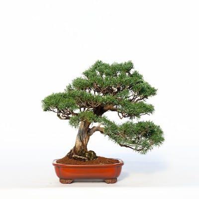 Juniper Bonsai Juniperus 29 33 Cm Japan Barnebys