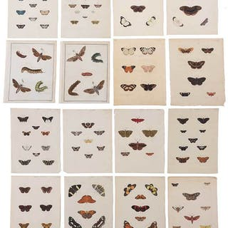 Group of Lepidoptera Prints