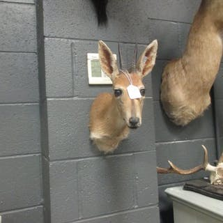 Taxidermy trophy mount - Impala , neck mount together with a Duiker neck mount