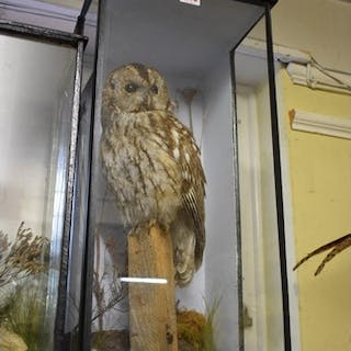 Taxidermy: a Tawny Owl, on stump with naturalistic base...
