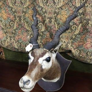 Antique taxidermy mounted Impala or springbok head.