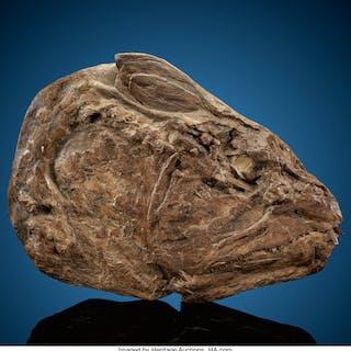 Fossil Fish Skull Xiphanctinus audax Cretaceous Niobrara Formation