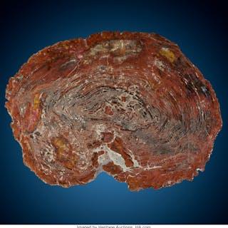 Petrified Conifer Slab Araucarioxylon Triassic Chinle Formation Arizona