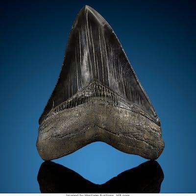 Megalodon Shark Tooth Carcharocles megalodon Miocene Morgan River