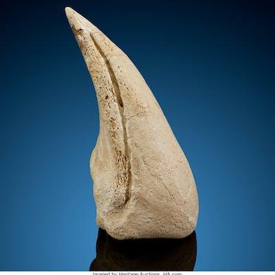 Dinosaur Claw Suchomimus maroccanus Cretaceous Kem Kem Basin, Taouz