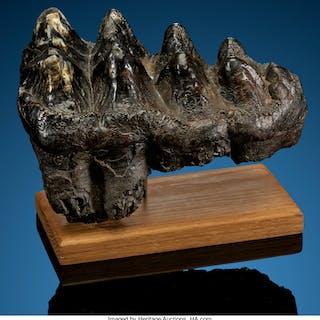 Mastodon Tooth Mammut americanum Pleistocene Florida, USA  ... (Total: 2 Items)