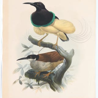 After Daniel Elliot, birds of paradise lithograph