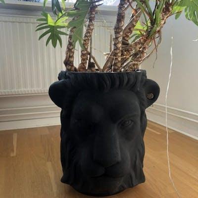 Garden glory lejonkruka