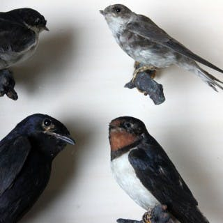 A Wonderful Cased Taxidermy Swallow & Martin Group by Joseph Cullingford
