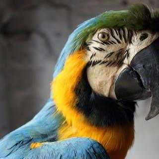 A Wonderful 20thC Taxidermy Blue & Gold Macaw
