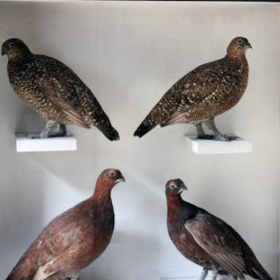 A Large Museum Cased Taxidermy Group of Four Scottish Red Grouse by
