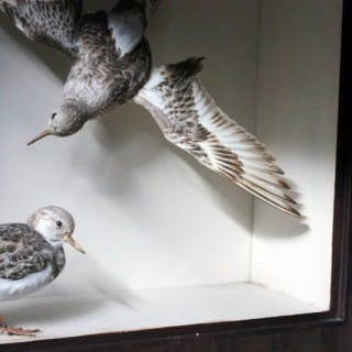 A Beautiful Museum Cased Taxidermy Pair of Turnstones by Joseph Cullingford