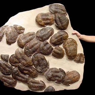 Giant ancient sea mass extinction fossil w/ trilobites