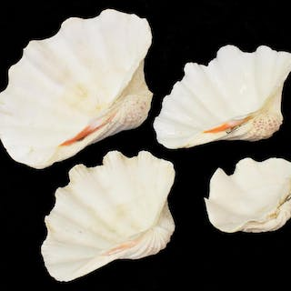 (4) GROUP OF NATURAL GRADUATED CLAM SHELLS