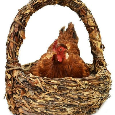 BROODING HEN RESTING IN BASKET TAXIDERMY MOUNT